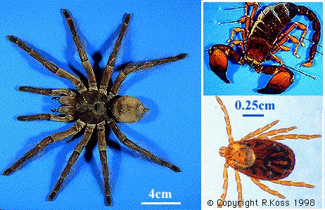 The name Arthropoda means jointed foot and refers their jointed appendages.