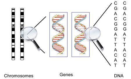 Chromosomes Chromosome- threadlike structure of DNA and protein that contains genetic information Gene- sequence of