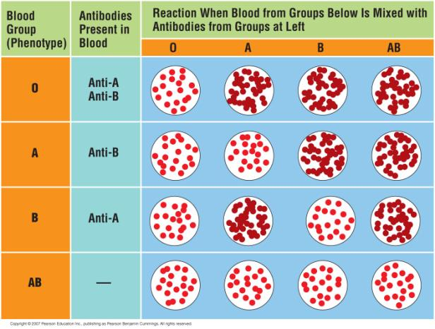 The ABO blood groups in humans are an example of multiple alleles. 5