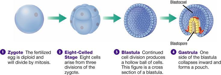 Cleavage and Blastula Formation Fertilization and Early, continued Gastrulation and Organogenesis In gastrulation, the blastula folds inward upon itself and transforms into a multilayered embryo