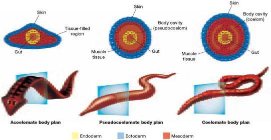 The outer germ layer is the ectoderm. The inner germ layer is the endoderm. In most phyla, a third layer, the mesoderm, forms between the endoderm and the ectoderm.