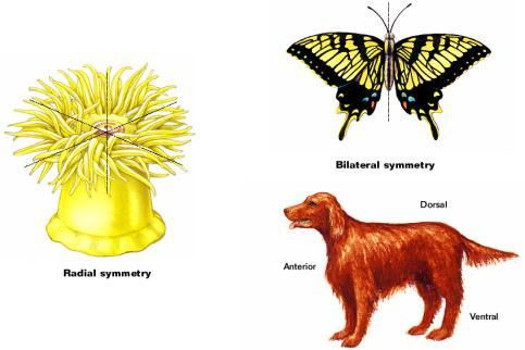 end a right side and a left side Bilaterally symmetrical animals tend to exhibit cephalization.