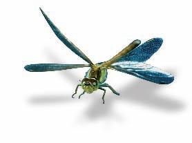 Animals with cephalization, such as the dragonfly in Figure 26 6, respond to the environment more quickly and in more complex ways than simpler animals can.