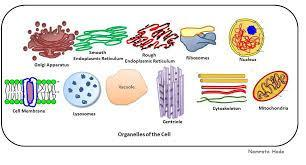 CELL ORGANELLES An organelle (tiny organ)- is well-defined,