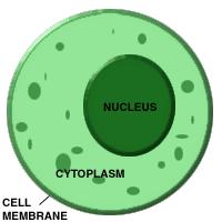 CYTOPLASM The cytoplasm is the region of the cell inside of the cell