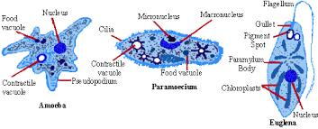 TYPE OF UNICELLULAR MOVEMENT Cilia-tiny little hair like structures.