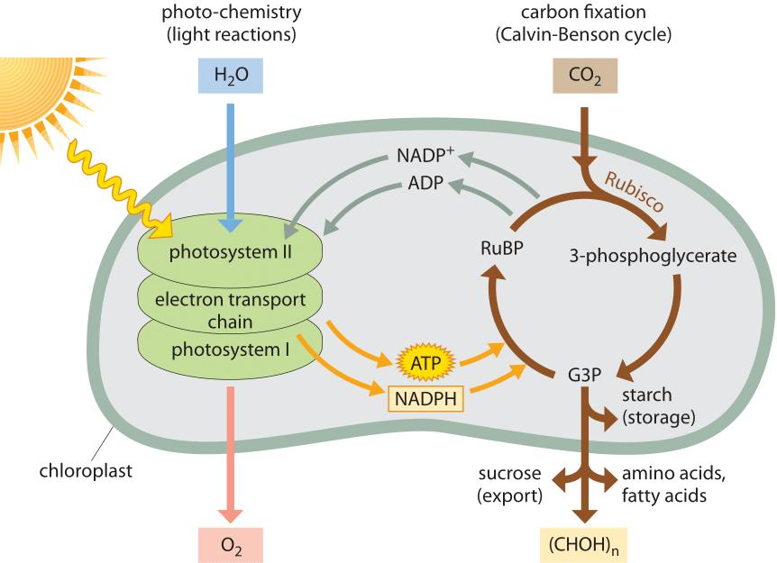 PHOTOSYNTHESIS Photosynthesis is a series of complex chemical reactions that converts light