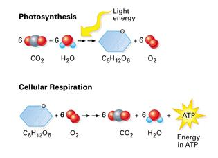 CELLULAR RESPIRATION When you eat food you get energy from breaking that food down into simpler molecules.