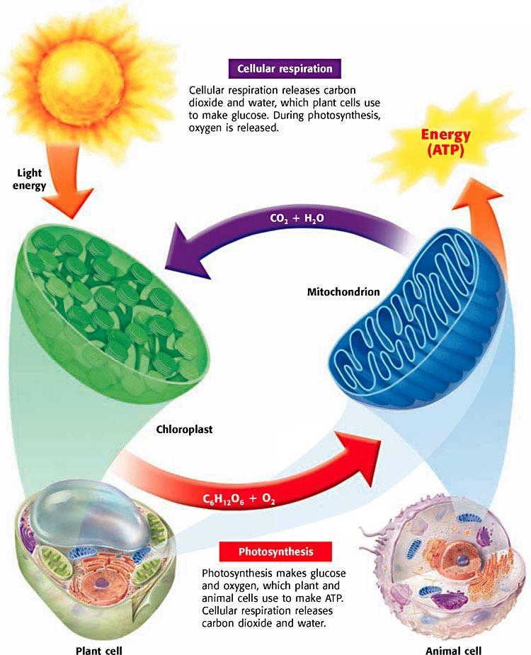 CELLULAR RESPIRATION The products of cellular respiration are the reactant of