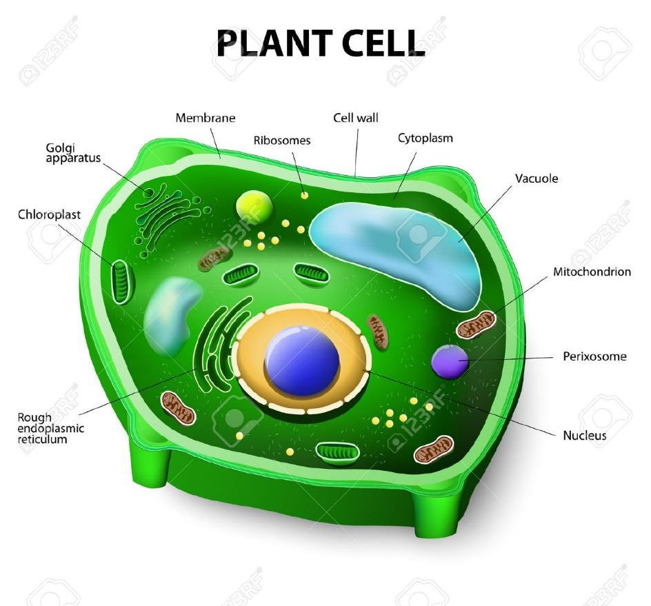 QUESTION Why do plant cells