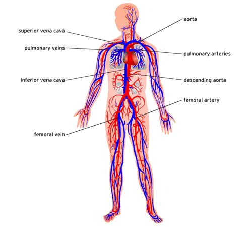 dioxide from the body Circulatory Structures: heart, blood vessels,blood Function: Transports oxygen,