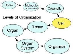 LEVELS OF ORGANIZATION FOR MULTICELLULAR ORGANISMS 1.
