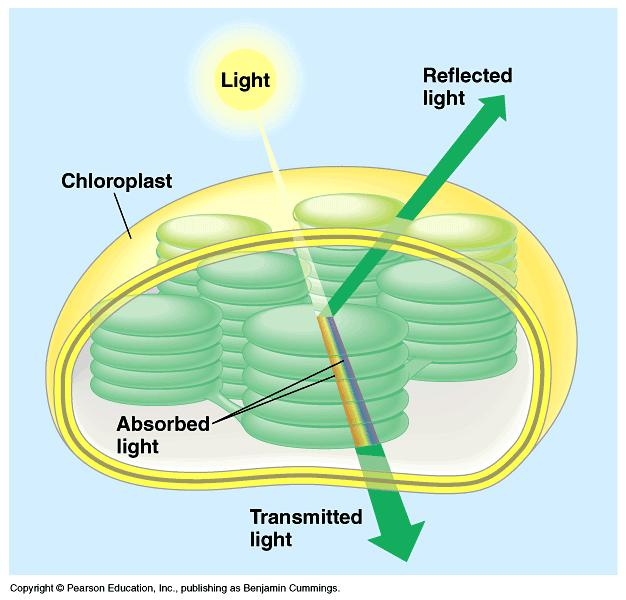 When light meets matter, it may be reflected, transmitted, or absorbed. Different pigments absorb photons of different wavelengths.