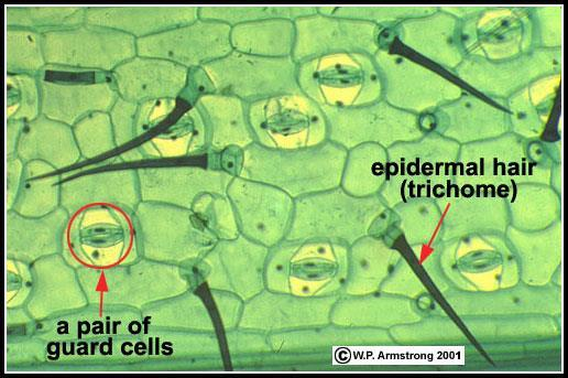 Leaf Epidermis Stomata are openings through which plants can