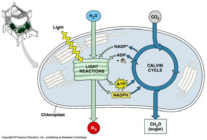 C3 photosynthesis highlights Large N requirement for enzymes (~50% of foliar N) Dependence on products of