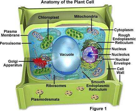 Membrane-Bound Organelles Mitochondria = membrane-bound organelle that produces energy for the cell