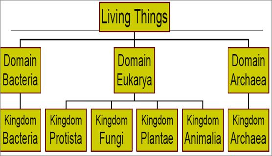 Classifying Living Things - modern Today, scientists recognize 3 domains of living things which are divided into 6 different kingdoms domain a level of classification of living things above kingdoms