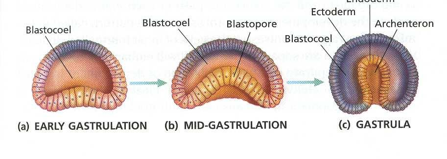 Archenteron a deep cavity that develops in the cup-shaped embryo (gastrula). functions as the gut. Ectoderm outer germ layer of the gastrula.