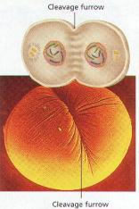 This stage consumes nearly 50% of time spent in mitosis.