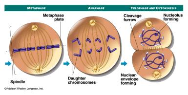 Cell cycle Cell Division is one cell replicating itself to replace old, damaged cells, or to make reproductive cells. HOW DOES A CELL KNOW WHAT IT IS GOING TO BECOME?