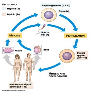 Ex: Muscular system 1 2 3 4 5 Meiosis Meiosis- - forming 4 haploid daughter cells from one diploid parent. This is used in the production of gametes.