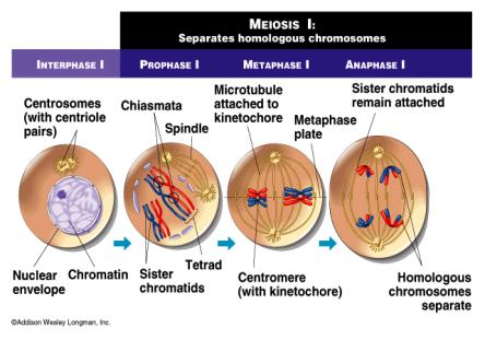 If a diploid cell containing a chromosome number of 42 divides through meiosis, how many daughter cells will be produced? What is the chromosome number of each of the cells?