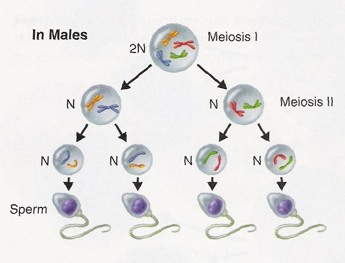 IV. Meiotic Division How does Meiosis differ in Males and Females?