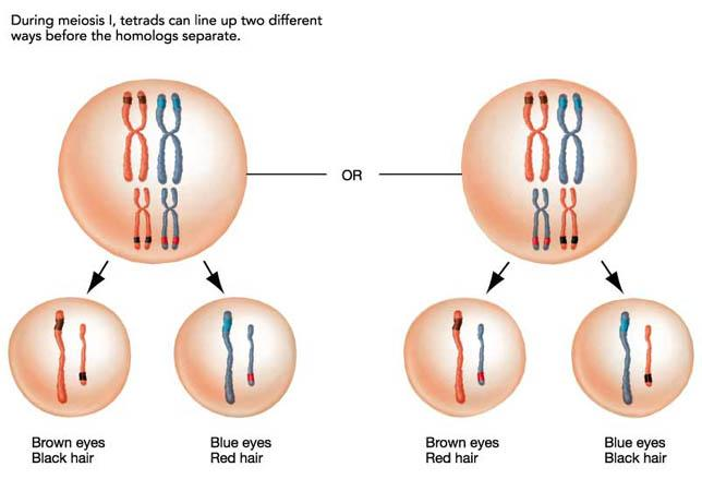 Meiosis as a Source of Genetic Variation The events that occur during meiosis do more than just divide chromosomes into smaller sets and form smaller