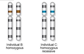 Homozygous An individual which contains one allele for a