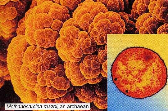 Archaea live in harsh environments and may represent the first cells to have