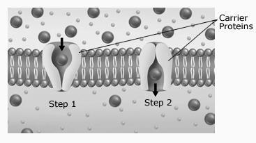 Diffusion 1. When molecules diffuse across the cell membrane, do they move down the concentration or against the concentration gradient? Does it need energy? 2.