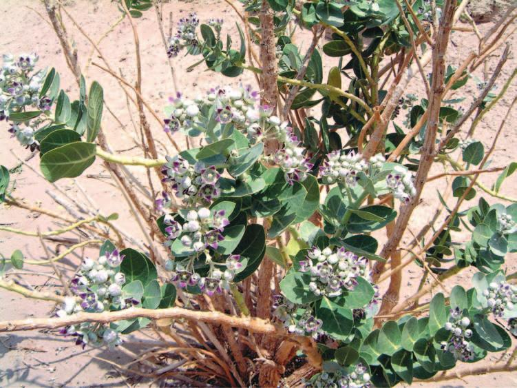 242 Saudi Arabia: An Environmental Overview Figure 9.13 Calotropis procera Wadi Tathlith. An indicator of overgrazing (Photo: author).