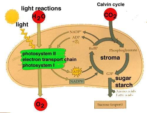 Stage 2: Light-Independent Reactions Calvin Cycle Occurs in stroma of the chloroplasts.