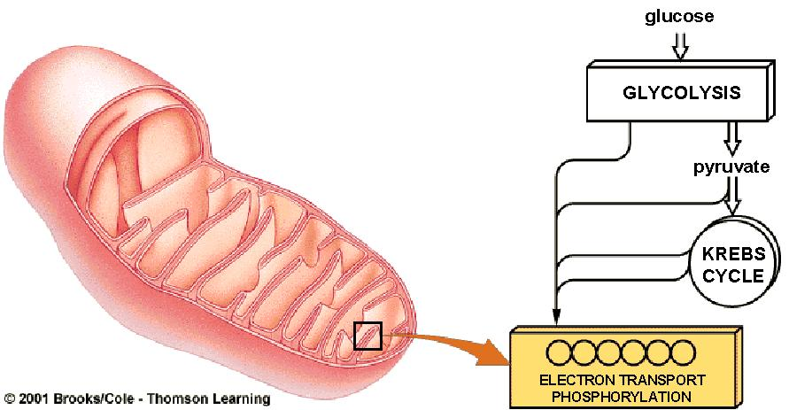 Oxidative Phosphorylation Occurs in mitochondria (inner membrane) Most efficient