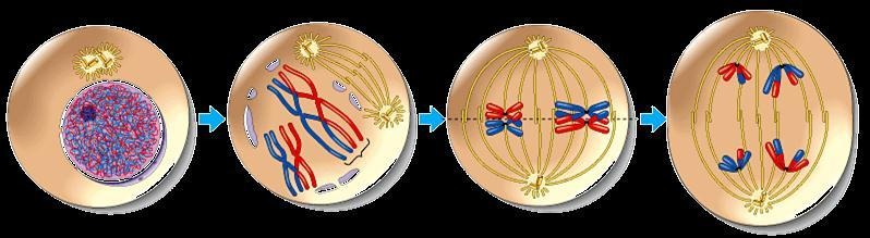 Overview of Meiosis I.P.M.A.