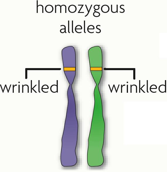 Genes The same gene can have many versions gene a piece of DNA that directs a cell to make a