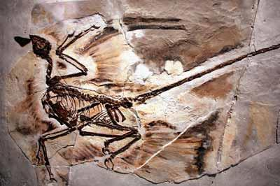 Paleontology Fossil record shows divergence in phylogeny Transitional fossils show links in traits between groups of organisms these confirm evolutionary relationships However, fossil record is