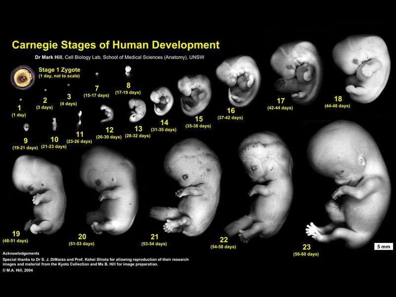 Embryology Embryology: the study of the embryonic development of organisms Similarities in development is more similar during embryonic development versus in adults Vertebrate embryos look very
