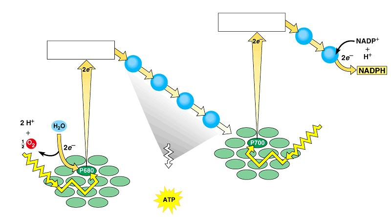 Noncyclic Photophosphorylation Photosystem II regains electrons by splitting water, leaving O 2 gas as a by-product Primary electron acceptor
