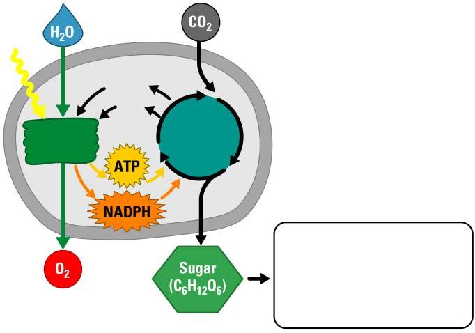 A Photosynthesis Road Map Chloroplast Light Stroma Stack of thylakoids Light reactions NADP +