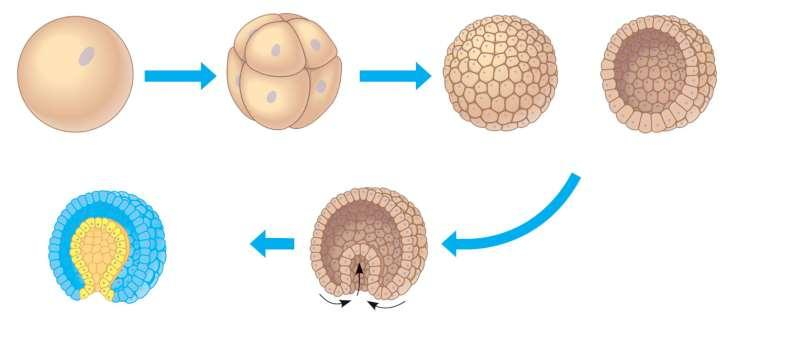 Early embryonic development in animals 1 The zygote of an animal undergoes a succession of mitotic cell divisions called cleavage. 2 Only one cleavage stage the eight-cell embryo is shown here.