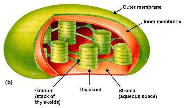 CENTRIOLES These produce microtubules for cell division CHLOROPLASTS This is