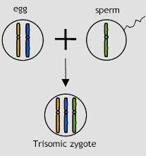 Meiosis error - fertilization Should the gamete with the chromosome pair be fertilized then the offspring will not