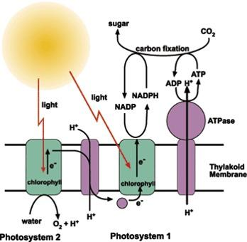 LIGHT REACTIONS PHOTOSYSTEM 1 contains chlorophyll P700 absorbs red light PHOTOSYSTEM 2 contains chlorophyll P680 absorbs red light