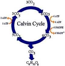 CALVIN CYCLE occurs in the stroma of the chloroplast is a cyclic