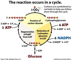 CALVIN CYCLE The Calvin Cycle can be divided into 3 phases: 1.