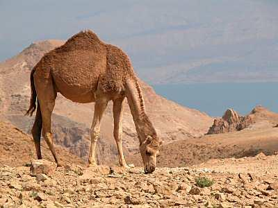 are scarce A Camel s webbed feet, long eye lashes, Prevent sinking in