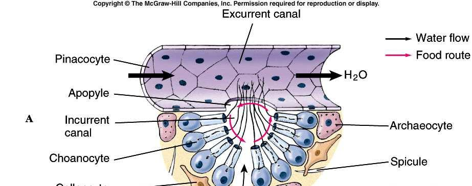 3) A collar is made of adjacent microvilli forming a