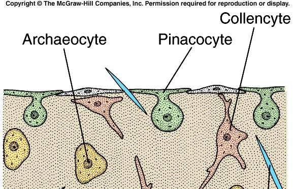 d. Archaeocytes 1) These cells move about in the mesohyl.
