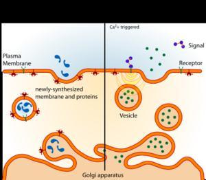 Vesicles Organelles that are pinched off pieces Golgi apparatus's membrane that that form a small compartment.
